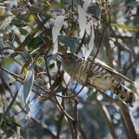 Shining Bronze-Cuckoo Identification Challenge