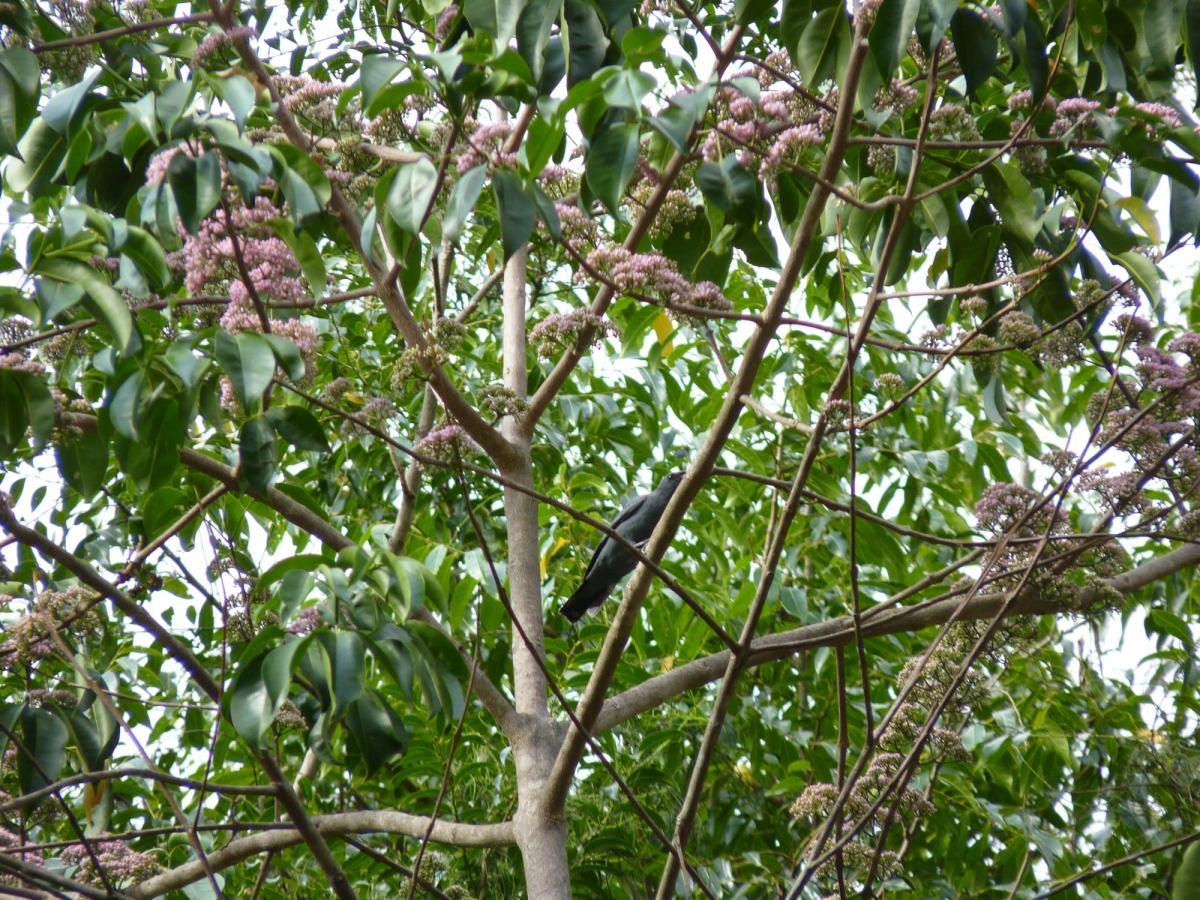 Cicadabird Coracina tenuirostris by Pamela Keil