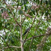 Cicadabird Identification Challenge